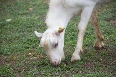 Det unga fåret som äter gräs, skjuter på lantgården royaltyfri bild
