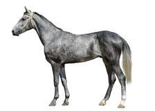 Det unga gråa hästanseendet som isoleras på vit bakgrund Royaltyfri Bild