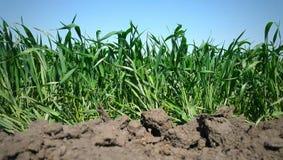 det unga gröna vetet som växer i jorden Bakgrund Arkivfoto