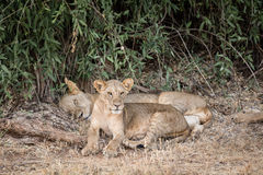Det unga lejonet bevakar hans moder Royaltyfria Bilder