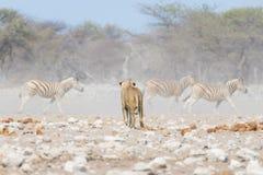 Det unga manliga lejonet, ordnar till för attack och att gå in mot flocken av rinnande sebror bort som är defocused i bakgrunden  Arkivfoton