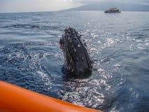 Det unga puckelryggvalet besöker flotten på havet royaltyfri bild
