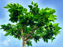 Det unga trädet Arkivbilder