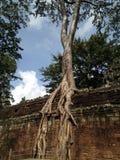 Det uppslukade trädet väggen forntida angkorcambodia wat royaltyfri bild
