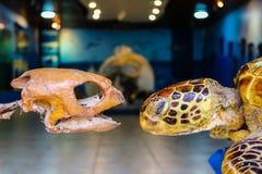 Det välfyllt och benen av havssköldpaddor Arkivbilder