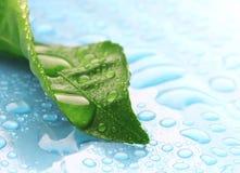 Det våta gröna bladet i droppar av vatten på blått ytbehandlar Royaltyfria Bilder