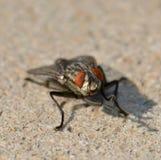 Det vanligagrå färgfluga, slut upp Arkivfoto