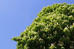 Det var det blommande kastanjebruna trädet för våren Arkivfoto