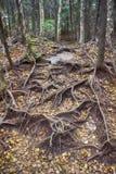 Det Vermont skoggolvet med trädet rotar Royaltyfri Bild