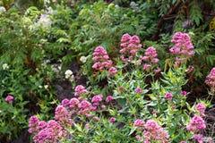 Det vetenskapliga namnet av denna växt är Centranthusruber arkivfoton