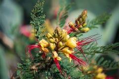 Det vetenskapliga namnet av växten är Caesalpiniagilliesiien royaltyfria foton