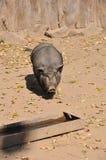 Det vietnamesiska Kruka-buktade svinet önskar drinkvatten arkivfoto