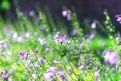 Det violetta slutet blommar upp suddig bakgrund Fotografering för Bildbyråer