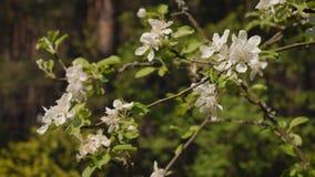 Det vita äpplet blomstrar i bakgrunden av vårskogen stock video