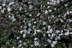 Det vita blomma Apple trädet Royaltyfri Bild