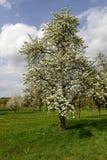 Det vita blomstra äppleträdet, baden Arkivbilder