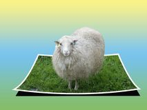 Det vita fåret går ut fotoet Royaltyfri Foto