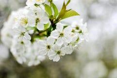 Det vita körsbärsröda trädet blommar blomningar på fruktträdgården arkivbild
