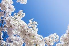 Det vita körsbärsröda trädet blomstrar i vår Royaltyfria Foton