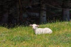 Det vita lammet ligger i gräset Arkivbilder