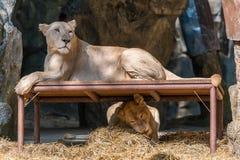 Det vita lejonet vilar på tabellen medan den annan en spela unden arkivfoto