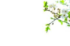 Det vita plommonträdet blommar blomningar Arkivfoto
