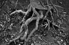 Det vridna trädet rotar utsatt på liten vikbanken Arkivfoto