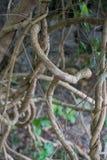 Det vridna tropiska trädet rotar royaltyfri foto