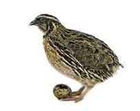 det vuxna ägget isolerade quailwhite Arkivfoto