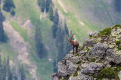 Det vuxna alpina anseendet för caprastenbockcapricorn vaggar på med sikt Arkivfoto