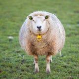 Det vuxna fåret står i äng och ser Arkivbild