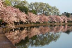 Det Washington DC-Cherryet blomstrar hundraårs- festival Arkivfoton