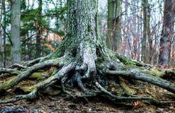 Det yttre dagmaterielfotoet av det stora trädet rotar på en dimmig vinterdag på kastanjebruna Ridge Park i fruktträdgård parkerar Arkivfoton