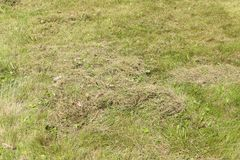 Lawn after dethatching in spring. Detached grass in large garden, photo where you can actually see how much grass dethatcher & x28;scarifier& x29; removed from Royalty Free Stock Photography
