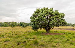 Detached scots pine tree on a large heather field Royalty Free Stock Images