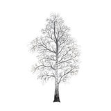 Detached tree birch without leaves,  illustrations Stock Photos