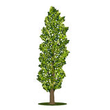 Detached tree poplar with green leaves Royalty Free Stock Photos