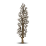 Detached tree poplar without leaves Stock Photography