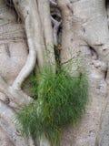 Detai του δέντρου σύκων κόλπων Moreton στοκ φωτογραφίες με δικαίωμα ελεύθερης χρήσης