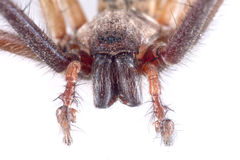 Detai? of head of brown spider on a white background. Detai? of head of brown spider isolated on a white background royalty free stock photography