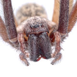 Detai? of head of brown spider on a white background. Detai? of head of brown spider isolated on a white background Royalty Free Stock Images