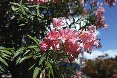 Detai lof pink oleander. Detail of pink oleander in a garden Stock Photography
