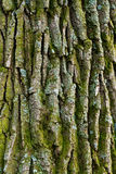 Oak bark Stock Photos
