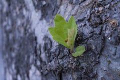 Detail über Barkenbaum mit unscharfem purpurrotem Hintergrunddetail des Effektes Lizenzfreie Stockfotos