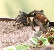 detail of acanthoscuria geniculata Stock Photography