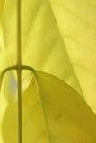 Detail, aderpatroon in gele wisteria Stock Afbeelding