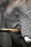 Detail of african elephant Stock Photography