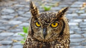 Detail of African owl. Eyes Royalty Free Stock Photo
