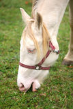 Detail of albino horse Royalty Free Stock Photography