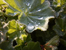 Detail of alchemilla vulgaris leaf with drop of watter royalty free stock photo